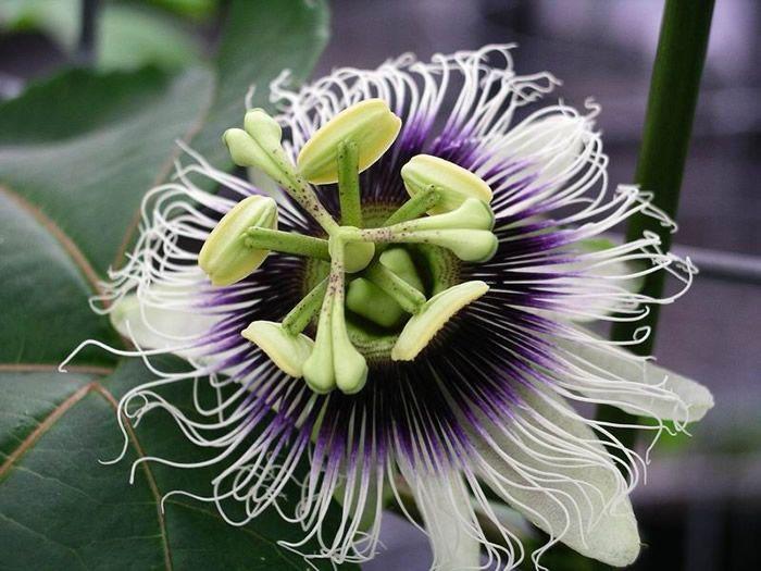 Flor de la parchita
