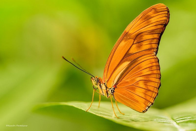 Mariposa Flama