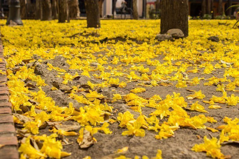 """Las flores de araguaney dejan una alfombra """"de oro"""" al pie del árbol"""