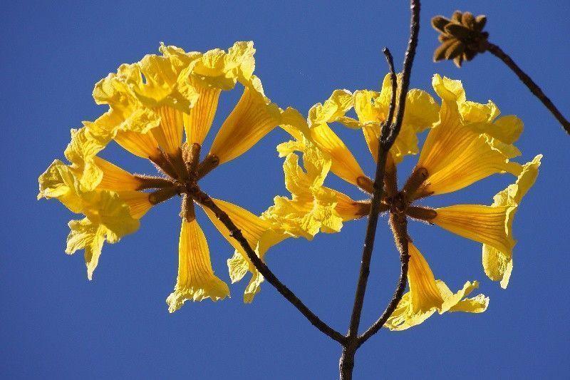 Flores de araguaney