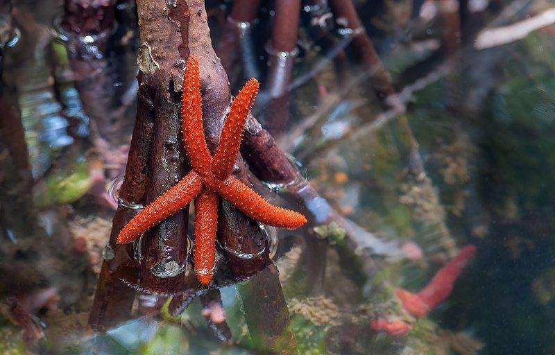 Estrella de mar entre los mangles
