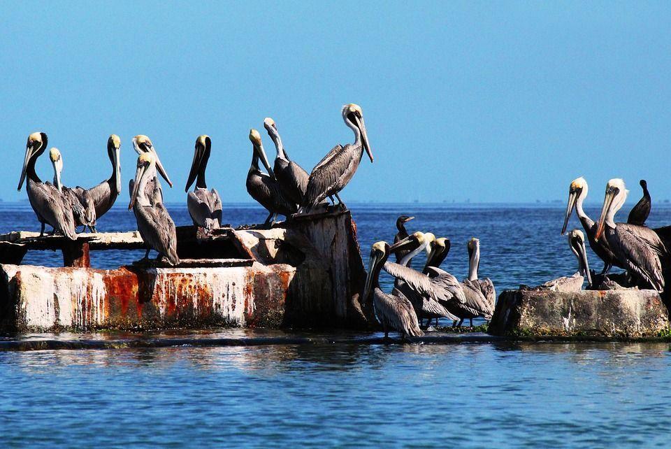 Pelícanos en Charagato